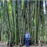 Bambusa arundinacea  - Bambus gigant - 5 seminte pentru semanat