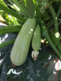 Seminte de legume si pesticide