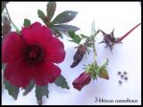 HIBISCUS CANNABINUS / KENAF 5 seminte pt semanat