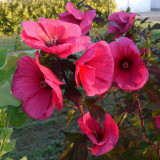 Hibiscus moscheutos-Griotte Tangri