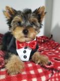 Păpuși din Yorkshire Terrier pentru adopție