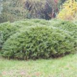 Ienupar tarator (Juniperus sabina Tamariscifolia), la ghiveci