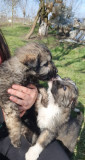 Oferim spre adoptie pui de caini