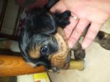 Yorkshire terrier pui, [en.casa]