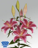 Bulbi =Crini Oriental parfumat   -LA MANCHA   cu 8 Ron/2buc