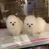 Pomeranian  mini toy