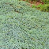 Ienupar Tarator (Juniperus squamata Blue Carpet), la ghiveci