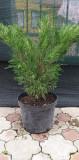 Juniperus Sabina Tamariscifolia (60 cm)