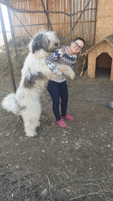Montă câine ciobănesc mioritic foto