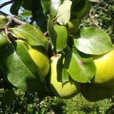 Tuica de pere de Topoloveni, 100% naturala