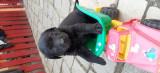Puii Labrador