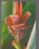 CPIB 17399 CARTE POSTALA - IASI. GRADINA BOTANICA. BANANIER CU FLORI, Necirculata, Fotografie
