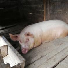 Vând porc de carne