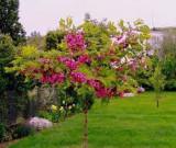 ROBINIA FERTILIS - Salcam cu flori fuchsia - 5 seminte pentru semanat