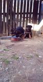 De vânzare pui ciobănesc german cu pedegree