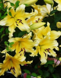 Bulbi =Crini  Oriental  Urias parfumat  -SERANO   cu 12 Ron/2buc