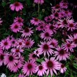 Echinaceea roz, Echinacea purpurea Prairie Splendor Deep Rose, la ghiveci, Plant