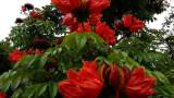 ARBORELE DE LALEA . Spathodea campanulata - 5 seminte pentru semanat