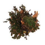 Trandafir de Jericho - decorațiune terariu