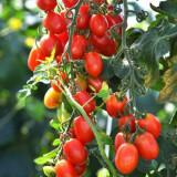 Rosii , tomate suculente soiul ROMA VF - 5 seminte pentru semanat