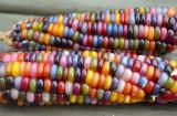 PORUMB CURCUBEU MULTICOLOR - Rainbow Mais - 3 seminte pentru semanat