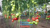 Vand rasaduri legume : Rasad de rosii ardei castraveti vinete salata de vanzare