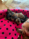 Yorkshire terrier miny toy