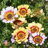Flori Chrysanthemum carinatum 2000 de semințe - 5 gr.