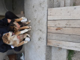 Două cățelușe superbe de ciobănesc german !!