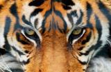 Cumpara ieftin Fototapet 00608 Tigru