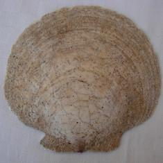Impresionanta scoica de dimensiune mare 15 x 16 cm (1)