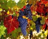 Vand vin de tara, tuica
