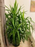 Yucca, Plant