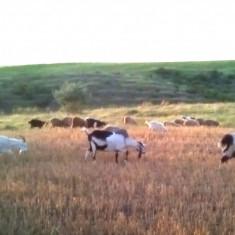 Vând 40 de oi 15 capre și 2 vaci