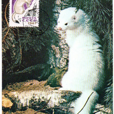 URSS CM, Fauna Nurca, Maxime