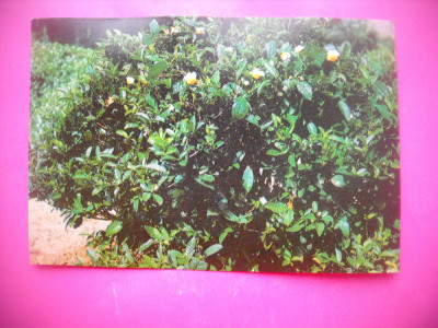 HOPCT 80617 ARBORE DE CEAI /DINASTIA TANG -CHINA SI MINUNILE EI-NECIRCULATA foto