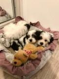 Bichon Mini Toy