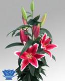 Bulbi =Crini  Oriental  Urias parfumat  -YASMINE    cu 10 Ron/1buc