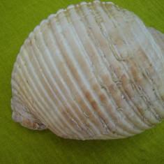 Scoica oceanica 1