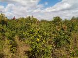 Otetar galben-ca arbore ornamental și melifer, Plant