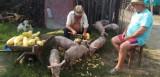 vand porci