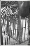 D722 Zebra Viena Parcul Zoologic iunie 1945 militar roman front