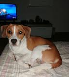 Donez beagle metis