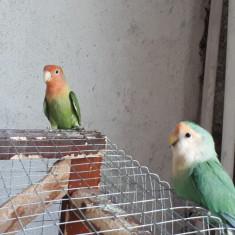 Vand papagali amorezi si fisher