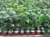 Puieti de alun MICORIZATI CU TRUFE - la ghiveci, produsi IN VITRO