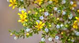 MEDICINALA - CREOSOTE , CHAPARRAL Larrea tridentata - 10 seminte pt semanat