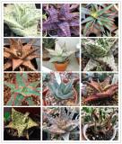 Aloe de cultura Mix - 10 raritati diferite