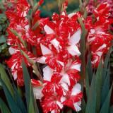 Bulbi de gladiole Zizane pachet 4 bulbi