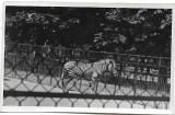 D719 Zebra Parcul zoologic Viena iunie 1945 militar roman front