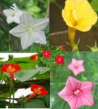 Quamoclit Pennata roz,rosu,galben,alb,portocaliu  seminte